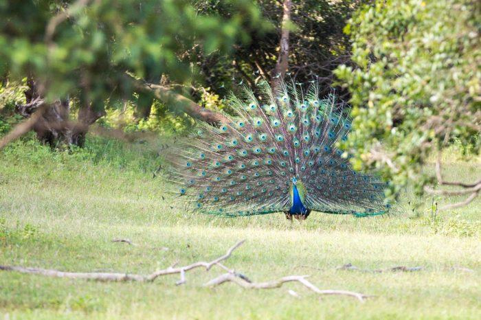 Lahugala National Park Safari